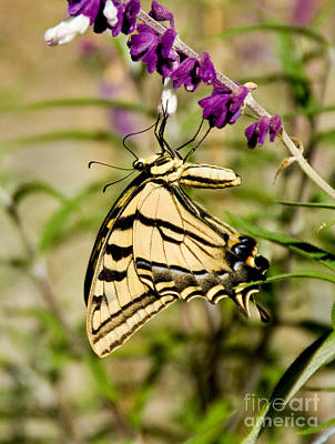 Tiger Swallowtail Butterfly Feeding Poster by Anthony Mercieca