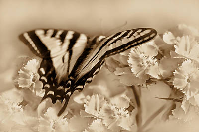 Tiger Swallowtail Butterfly In Amber Poster
