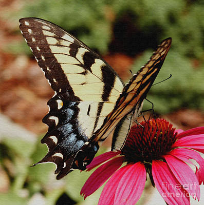 Poster featuring the photograph Tiger Swallowtail  by James C Thomas