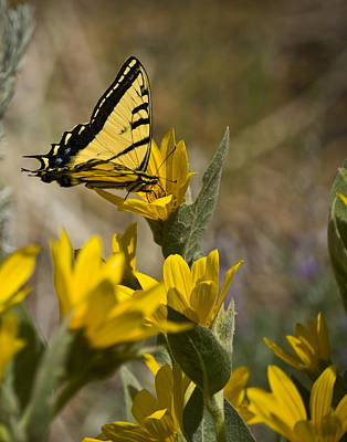 Poster featuring the photograph Tiger Swallowtail Butterfly by Janis Knight
