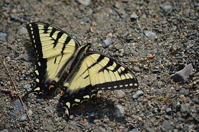 Poster featuring the photograph Tiger Swallowtail by James Petersen