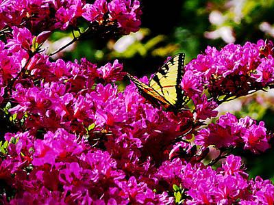 Tiger Swallowtail On Azalea Poster