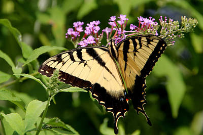 Tiger Swallowtail On Butterfly Bush 1 - Featured In The Wildlife And Nature Groups Poster by EricaMaxine  Price