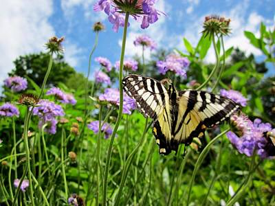 Tiger Swallowtail On Pincushion Flowers Poster by MTBobbins Photography
