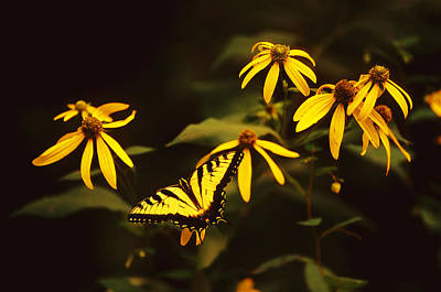 Tiger Swallowtail Perch  Poster