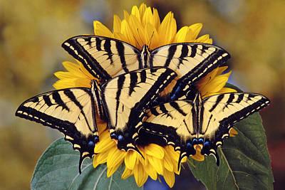 Tiger Swallowtail Trio Poster by Robert Jensen