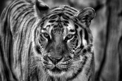 Tiger Tiger Monochrome Poster