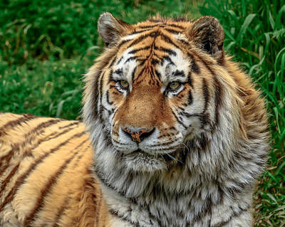 Tiger Tiger Poster by Yeates Photography