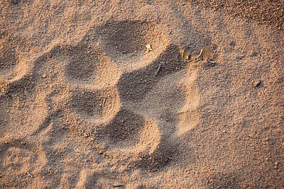 Tiger Track, Bandhavgarh National Park Poster