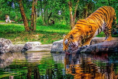 Tigers Pond Poster by Glenn Feron
