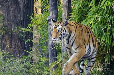 Tiger International Day Poster