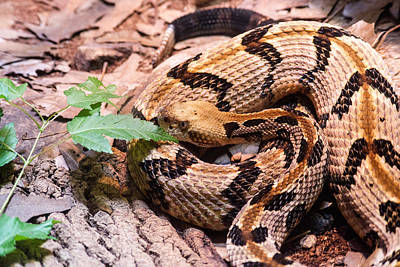 Timber Rattler Waiting For Prey Poster