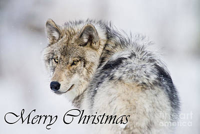 Timber Wolf Christmas Card 2 Poster by Michael Cummings