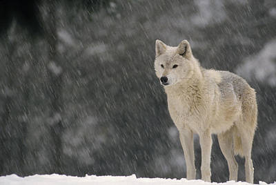Timber Wolf Female North America Poster by Gerry Ellis