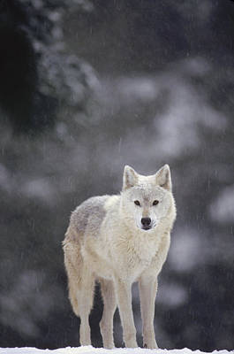 Timber Wolf In Falling Snow Poster by Gerry Ellis
