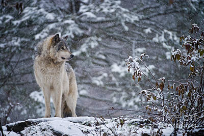 Timber Wolf Pictures 189 Poster
