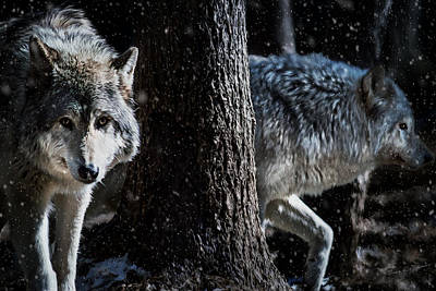 Timber Wolves In The Snow Poster