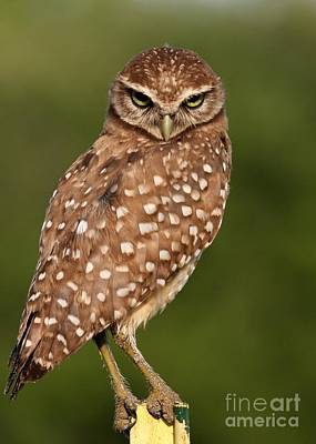 Tiny Burrowing Owl Poster