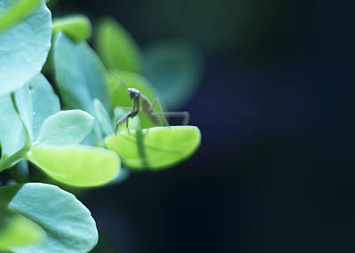 Poster featuring the photograph Tiny Praying Mantis On Sedum by Rebecca Sherman