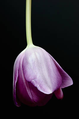 Tipped Tulip Poster