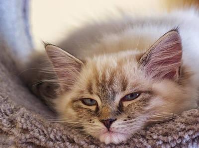 Tired Kitten Poster