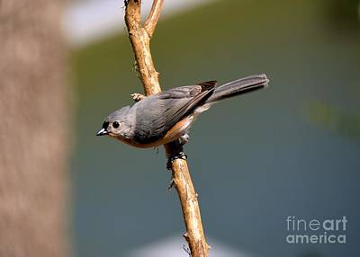 Poster featuring the photograph Titmouse by Lisa L Silva