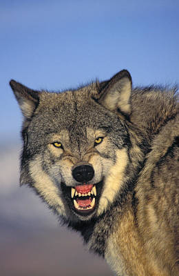 T.kitchin Wolf Snarling Poster by First Light