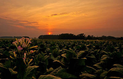 Tobacco Flowers At Dawn  Poster