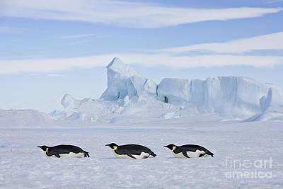 Tobogganing Emperor Penguins Poster
