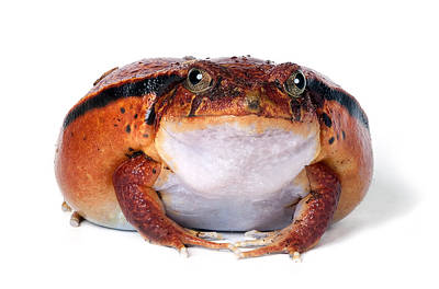 Tomato Frog Poster by Robert Jensen