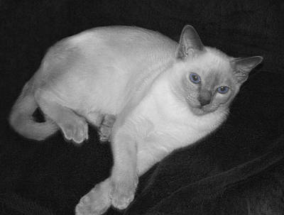 Tonkinese Cat In Bw With Blue Eyes Poster
