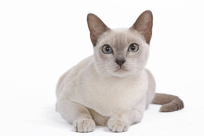 Tonkinese Cat Poster