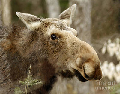 Too Close For Comfort Moose In Algonquin Provincial Park Poster by Inspired Nature Photography Fine Art Photography