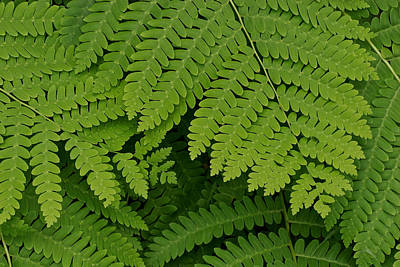 Toothed Ferns Poster