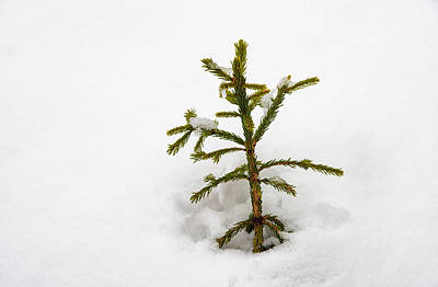 Top Of A Green Conifer Tree With Lots Of Snow In Winter Poster