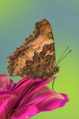 Tortoise-shell Butterfly, Nymphalis Poster
