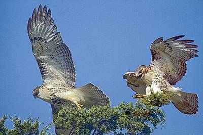 Touch And Go Juvenile Red-tailed Hawk  Poster by Constantine Gregory