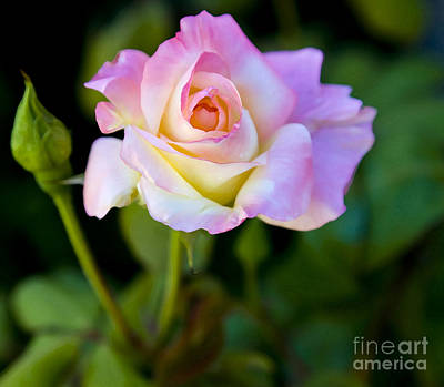 Poster featuring the photograph Rose-touch Me Softly by David Millenheft