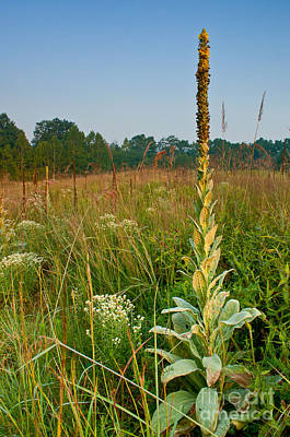 Towering Mullein - Meadow And New England Wildflower Poster by JG Coleman