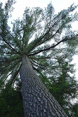 Towering Pine Poster