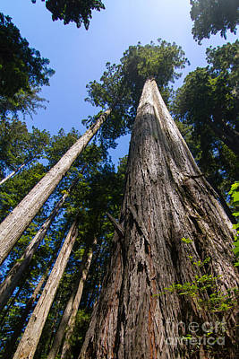 Towering Redwoods Poster by Paul Rebmann
