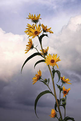Poster featuring the photograph Towering Sunflowers by Rob Graham