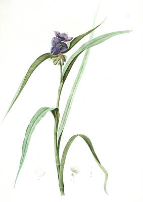 Tradescantia Virginica, Tradescantia Virginica Ephémérine Poster