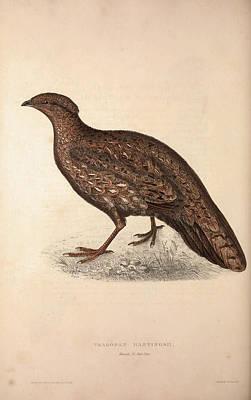 Tragopan Hastingsii Female. Birds From The Himalaya Poster