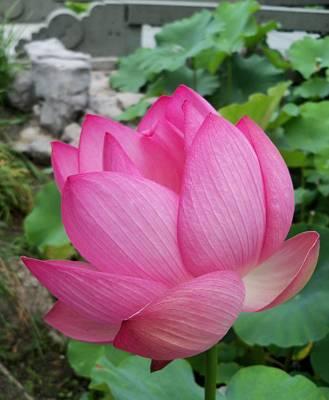 Tranquil Lotus  Poster by Lingfai Leung