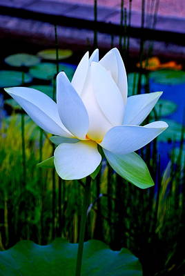Tranquil Water Lily - Water Garden Lotus Poster