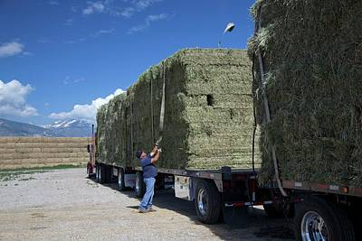 Transporting Bales Of Hay Poster by Jim West