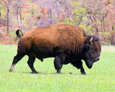 American Bison Poster by Mickey Harkins