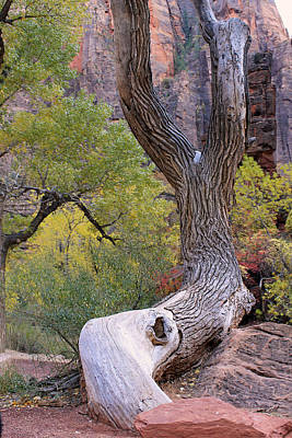 Tree @ Zion National Park Poster