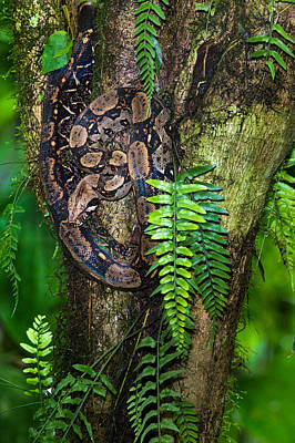 Tree Boa On A Tree, Sarapiqui, Costa Poster by Panoramic Images